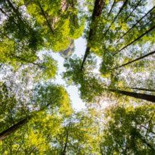 Treetops of beech trees